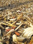 picture of threshing  - Threshed corncobs with rime between stubble on the ground - JPG