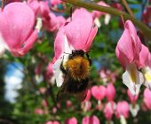 stock photo of broken heart flower  - Bumblebee on a flower ditsentry excellent (Dicentra spectabilis) ** Note: Shallow depth of field - JPG