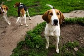 stock photo of hound dog  - Rack of hounds dogs in the summer morning - JPG
