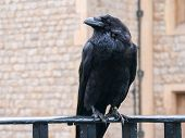 Raven At The Tower Of London. Closeup Portrait Of Sitting Black Raven In Tower Of London, Uk. Raven  poster