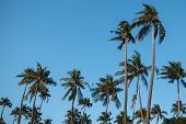Palm Grove In Thailand In Phuket, Tree Crowns On A Background Of Blue Sky poster