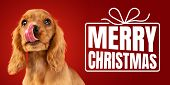 Young Dog, Puppy Or Pet Isolated On Red Studio Background Wishes Happy New Year And Merry Christmas. poster