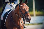 Portrait Of A Beautiful Bay Horse, Dressed In Sports Gear For Dressage And With Rider In The Saddle, poster
