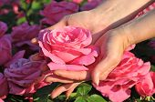 pic of pink rose  - Beautiful rose in the female hands evening light