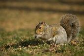 Shadowy Squirrel poster