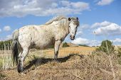 Portrait Of An Appaloosa Pony Horse With Beautiful Mane In Nature, Looking At Camera. Blue Sky With  poster