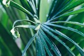 Rain Drops On Palm Leaf Nature Background. Nature Background Of Palm Leaves. Palm Tree Leaves Nature poster