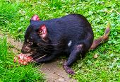 Closeup Of A Tasmanian Devil Eating Meat, Endangered Animal Specie From Tasmania In Australia poster