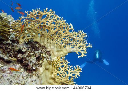 coral reef with yellow fire coral and diver at the bottom of tropical sea