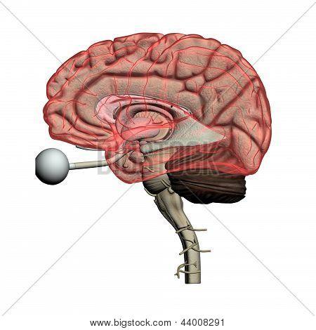 Human brain see-through
