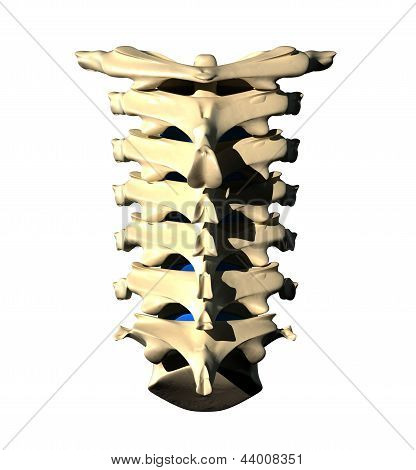 Cervical Spine - Posterior view / Back view