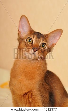 Somali Kitten Ruddy Color Portrait