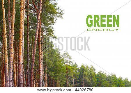 A floresta de pinheiros (Pinus sylvestris) com fundo branco. Conceito de energia renovável. Imagine com pla