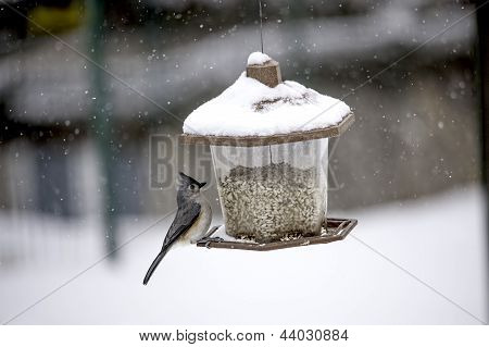 Titmouse on a Feeder