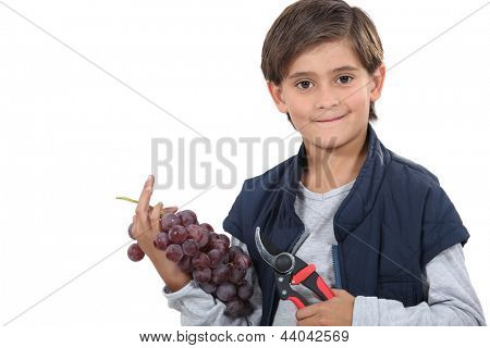 Young boy with secateurs and a bunch of grapes