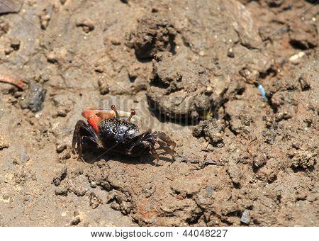 Fiddler Crab (uca Tetragonon)