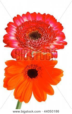 two natural red and orange gerbera flower isolated over pure white background