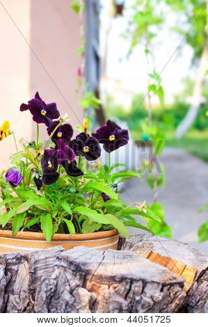 Viola Violet In A Pot In The Garden
