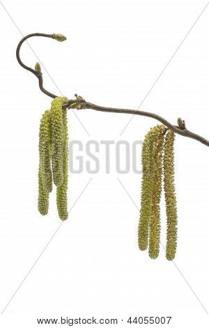 Catkins of a corkscew hazel plant in spring