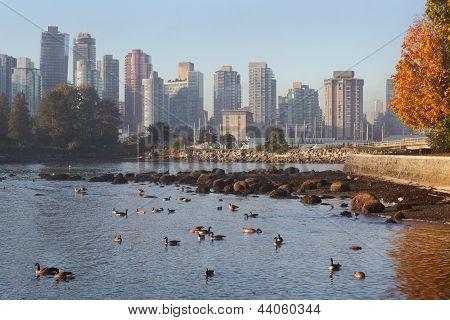 Canada Geese, Coal Harbor Skyline, Vancouver
