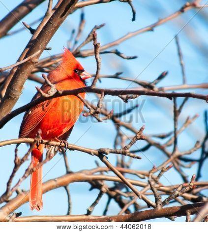 Beautiful Perched Cardinal
