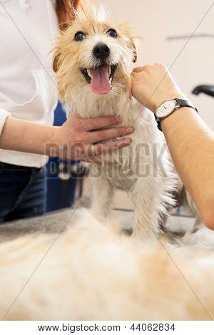Jack Russell Terrier getting his hair cu