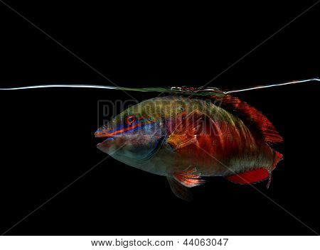Spotlight Parrotfish On Black Background