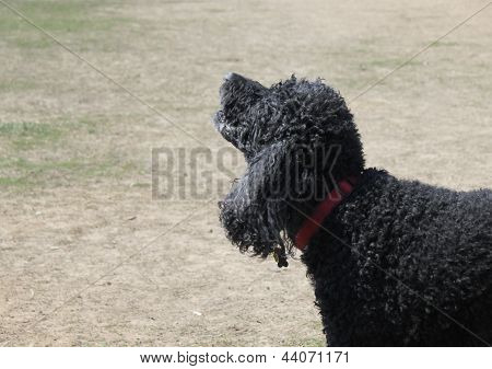 Black Standard Poodle Barking