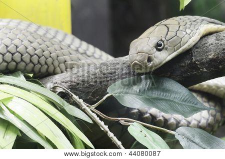 rei cobra