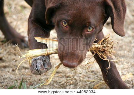 Dog Chewing on Corn Husk