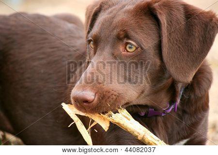 Puppy Eating a Corn Husk