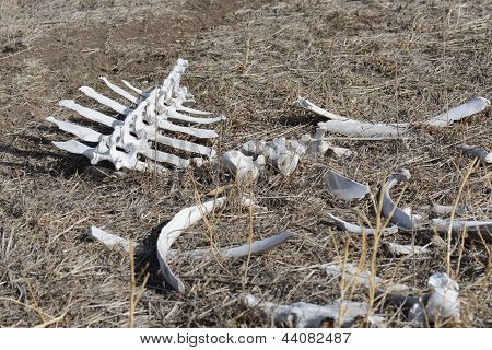 White Backbone and Assortment of Bones in the Wild