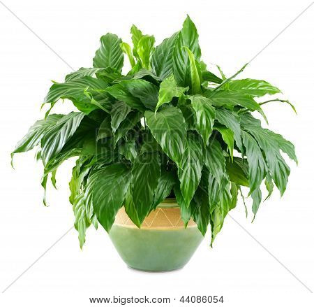 Lush, Shiny Indoor Plant