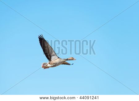 Goose flying in a blue sky in spring
