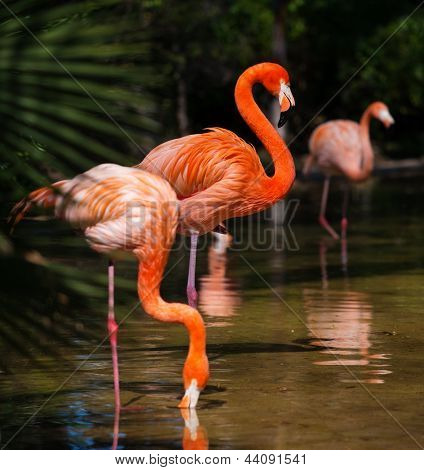 Group of pink flamingos near water