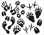 stock photo of bear tracks  - black traces of animals on a white background - JPG