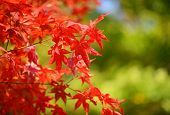 japanese maples in red color