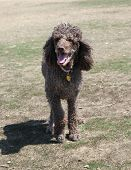 picture of standard poodle  - Brown standard poodle full body with mouth open - JPG