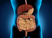 stock photo of pancreas  - Human Digestive System isolated on white background - JPG
