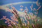 stock photo of cattail  - Flower grass impact sunlight on the hill - JPG