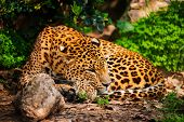 foto of leopard  - Gorgeous leopard in natural habitat - JPG