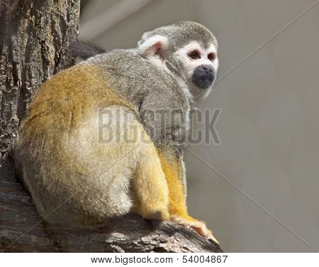 Common Squirrel Monkey in Zoo