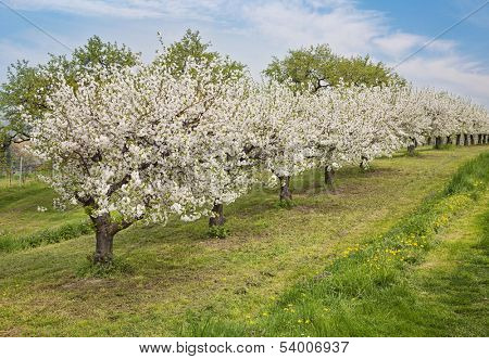 Blooming peach trees in a spring orchard