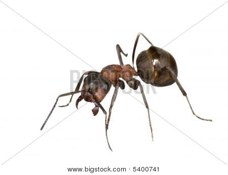 Single Brown Ant