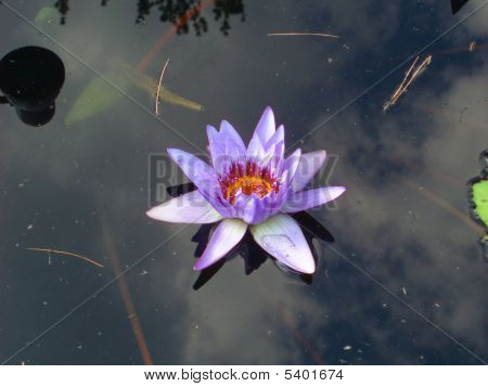 Water Lily Light Purple Floating On Top Of Water