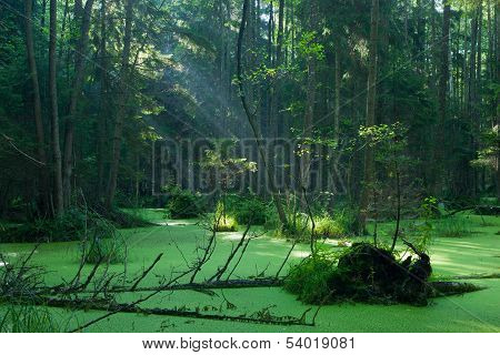Natural Alder-carr Stand Of Bialowieza Forest In Sunrise