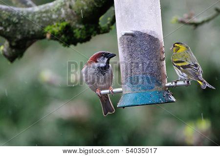Siskin And House Sparrow..