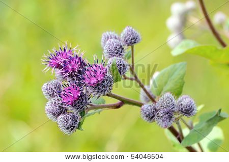 Flowering Great Burdock (arctium Lappa)
