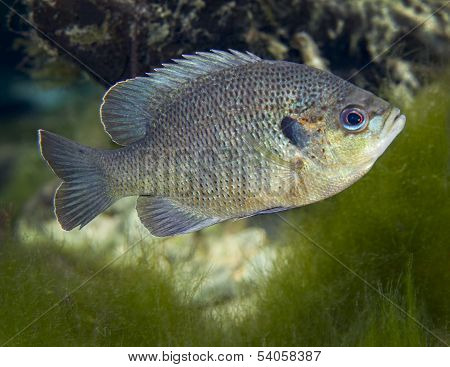 Blackspotted Sunfish - Fanning Springs