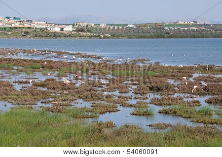 Flamingoes on lagoon, Andalusia, Spain.